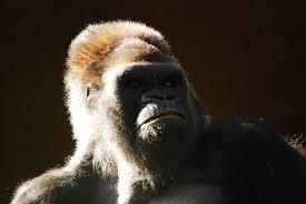 Wat Kost Geld Gorilla Geheimen?