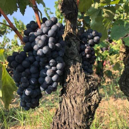 vino rosso negroamaro ricco di polifenoli salento puglia masada brindisi doc vitigno tannini