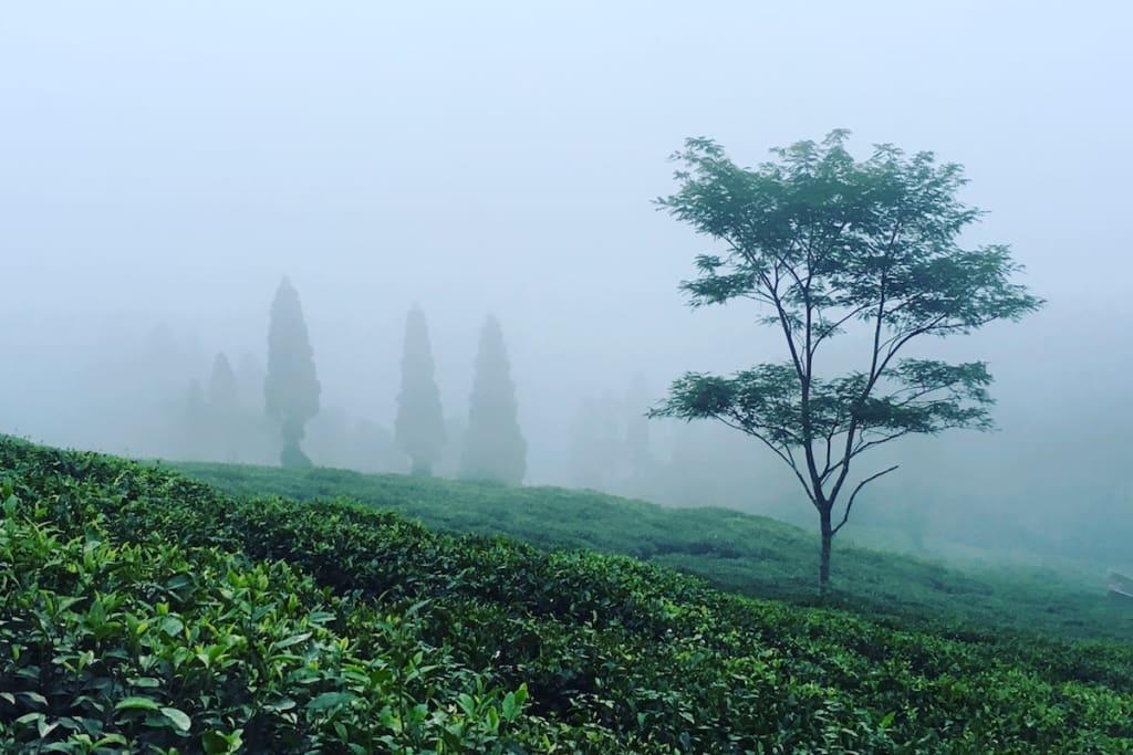 tea garden visit India