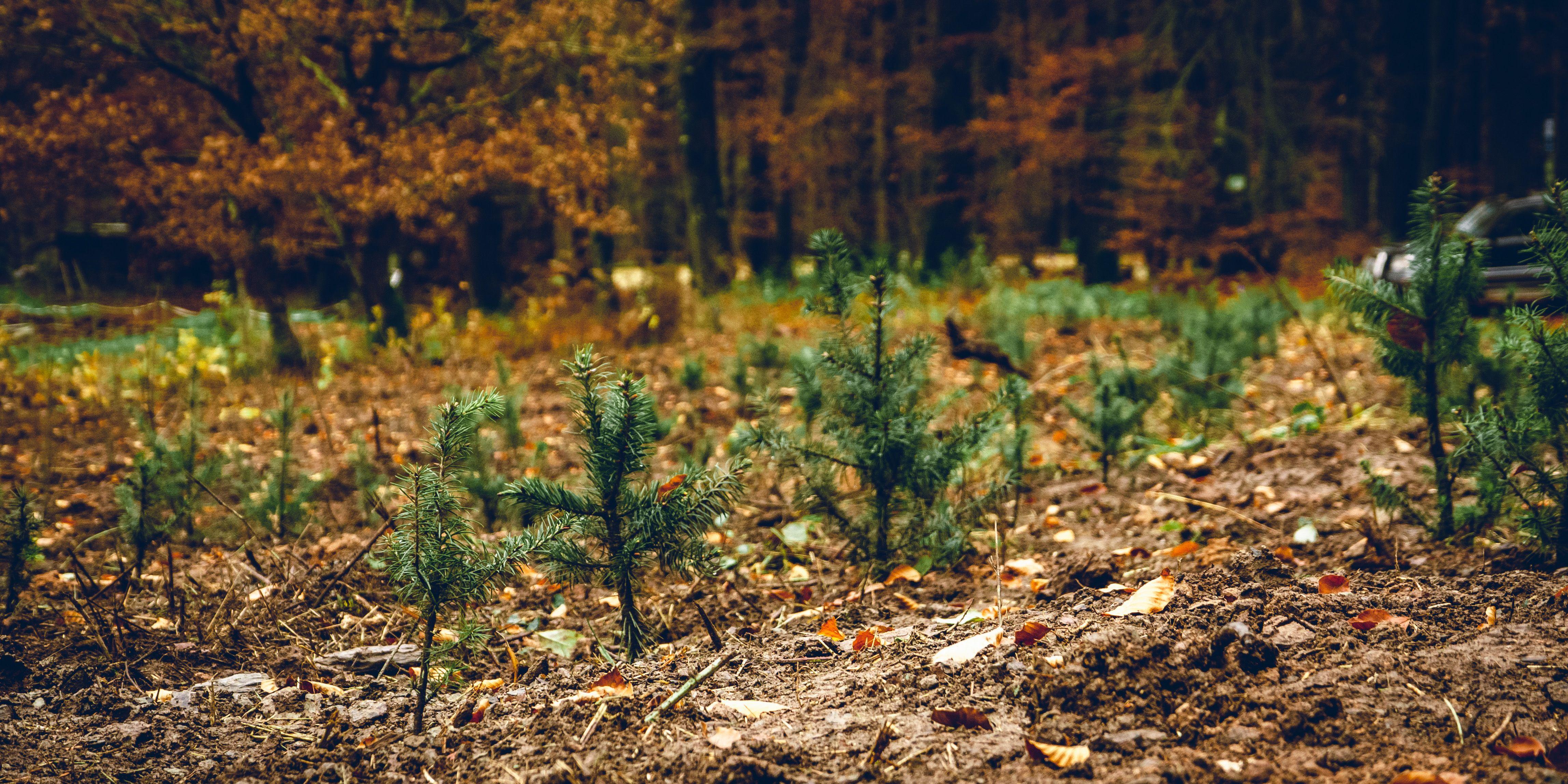 Die ersten EURESA Bäume