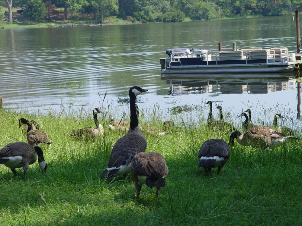 The local geese are gorgeous.