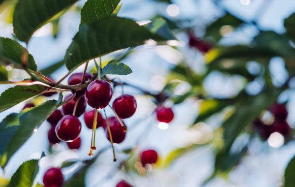 Red cherries on vines