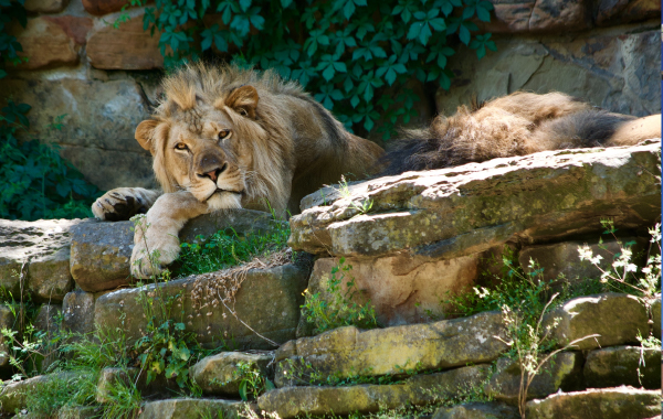 Lions relaxing at the Fort Worth Zoo
