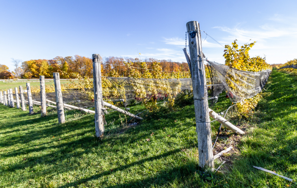 Vineyard in Michigan