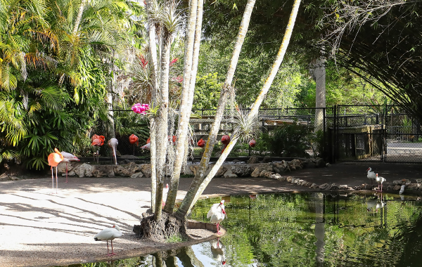 Flamingos at a watering hole in Fort Lauderdale's Flamingo Gardens
