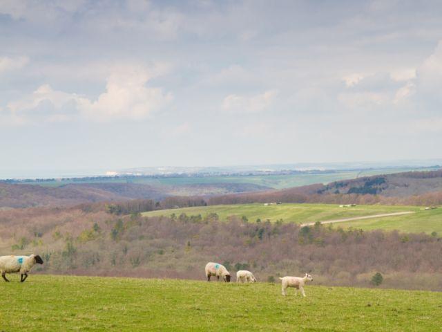 View sheep