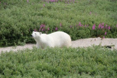 Polar bear seen at the fort