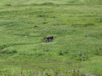 L\'anse aux Meadows moose