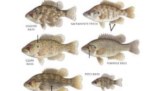 There are also a number of illustrations to help you tell similar fish apart.
