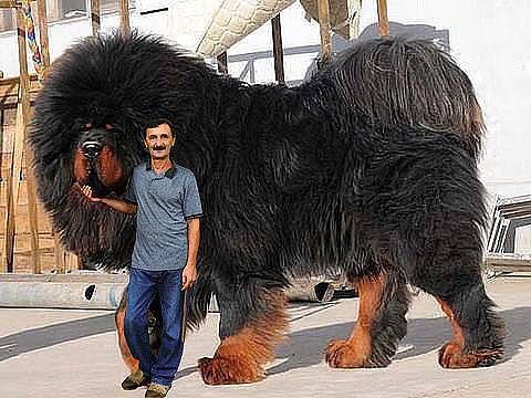 35 biggest dogs in the world ezvid rank - Bred porte de saint cloud ...