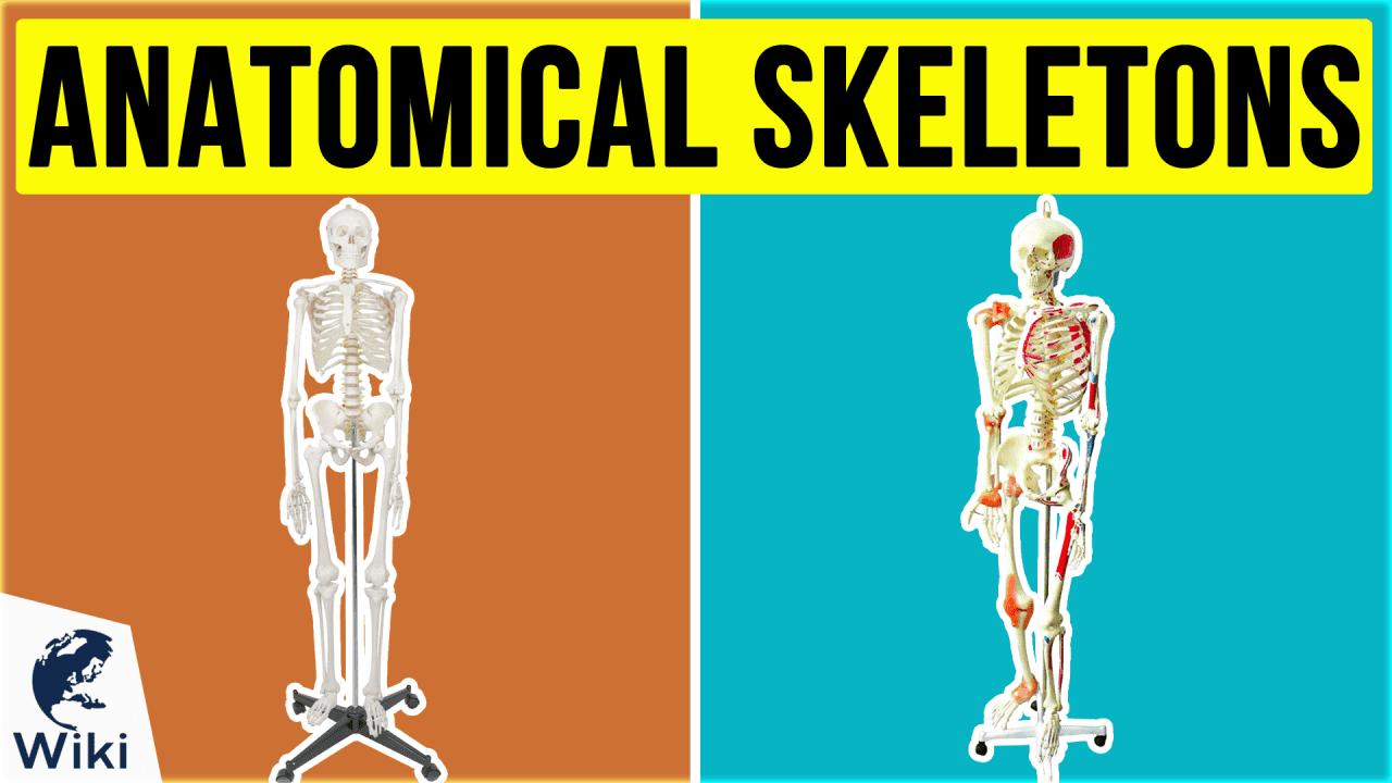 10 Best Anatomical Skeletons