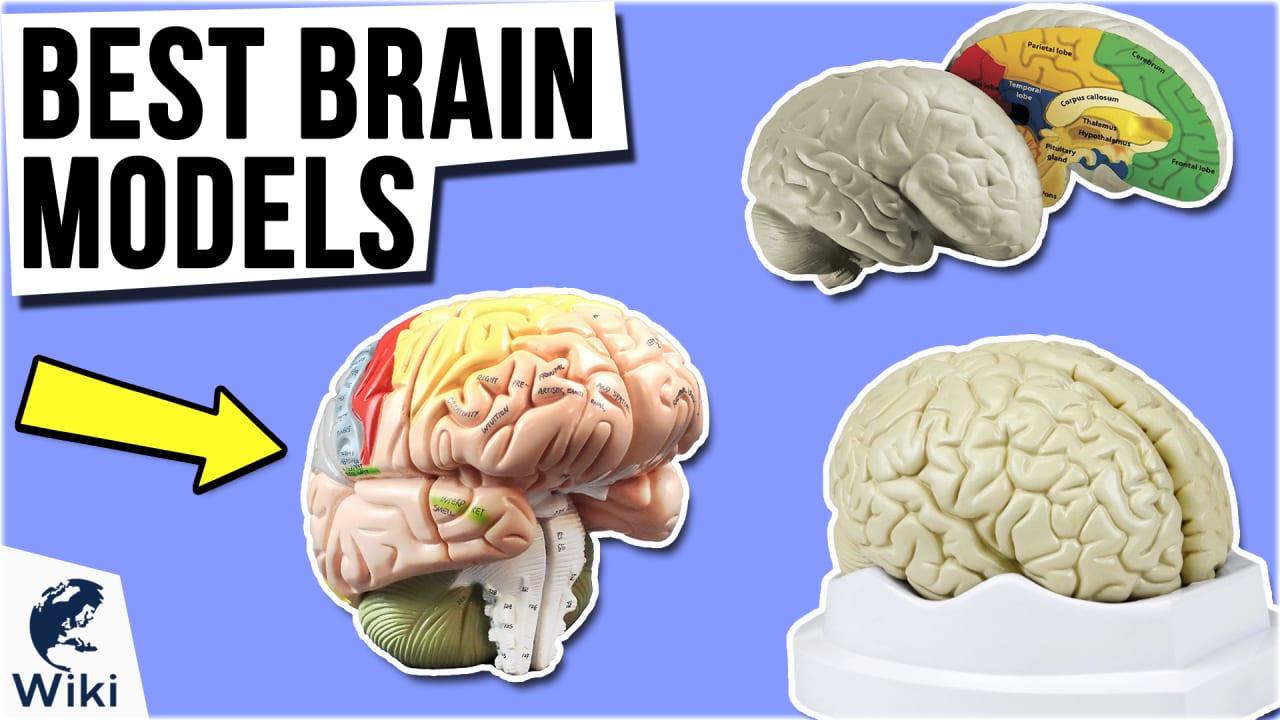 9 Best Brain Models