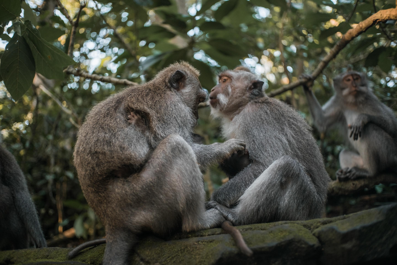 ubud monkey family