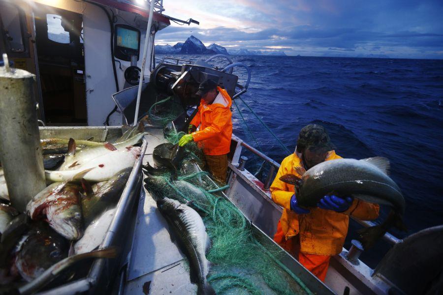 Skrei-fangst utenfor Senja i Troms.