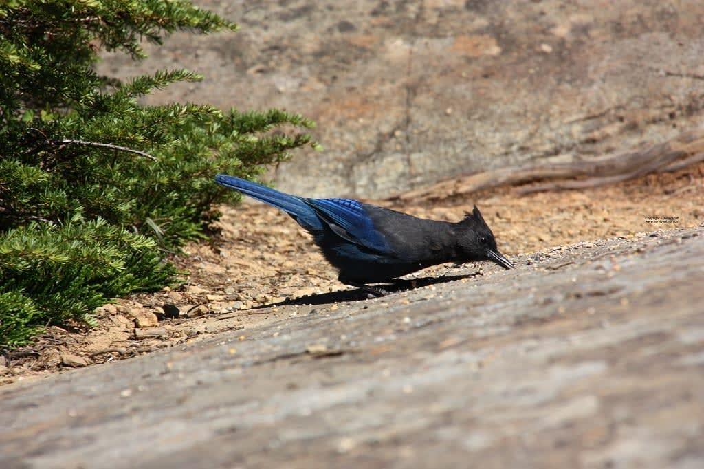 Schwarz-blauer Vogel folgt mir auf Survival Tour