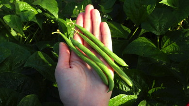 Yard Haricot Vert for Container or Garden Planting Hundredfold Masai French Bush Green Bean 50 Vegetable Seeds Non-GMO Phaseolus vulgaris