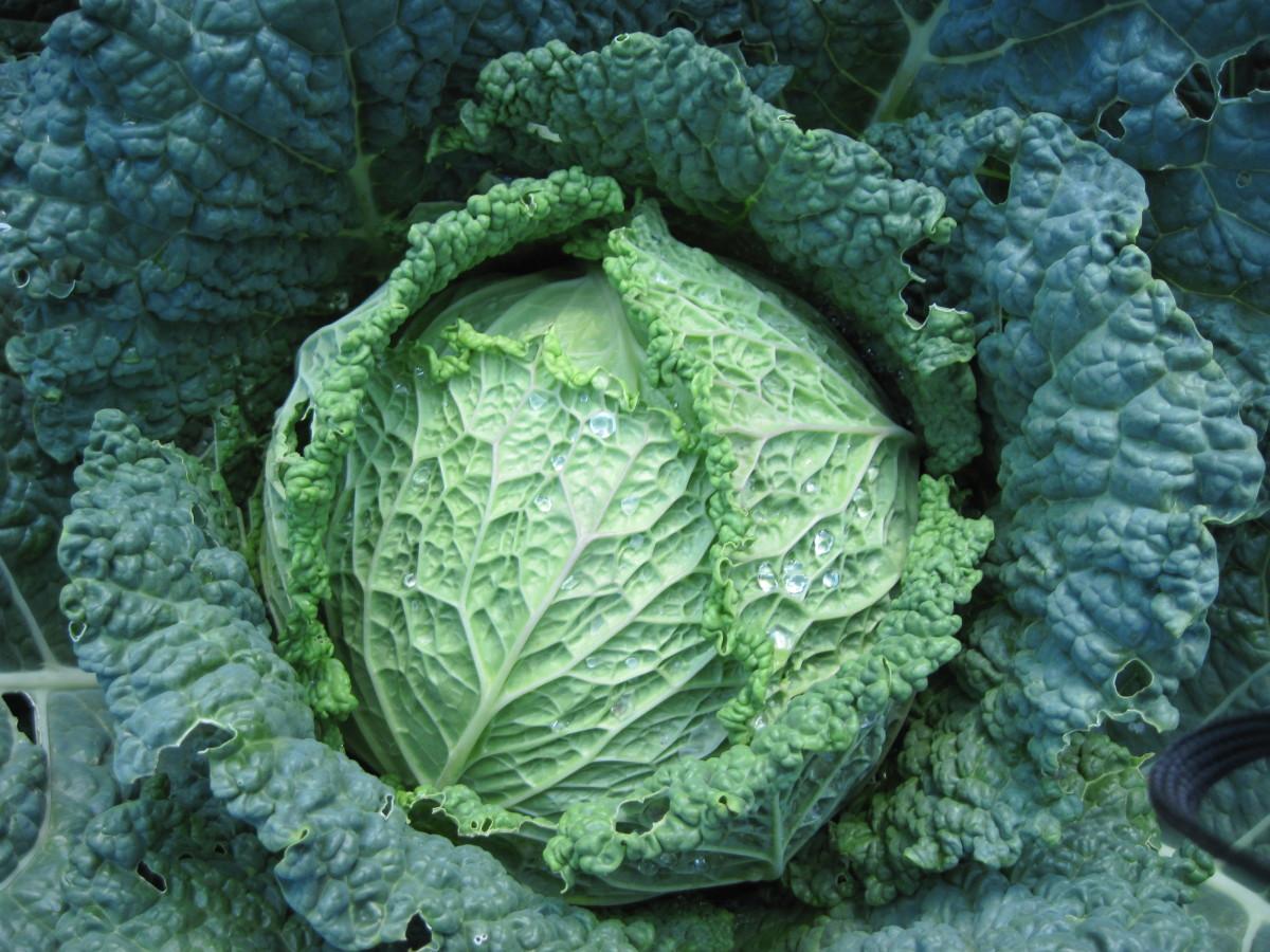 Melissa Savoy Cabbage Fedco Seeds