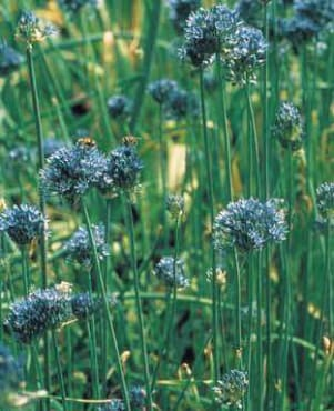 Blue-of-the-Heavens Flowering Onion