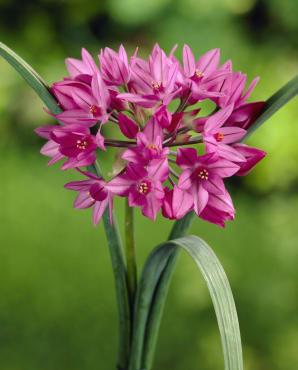 Pink Lily Leek
