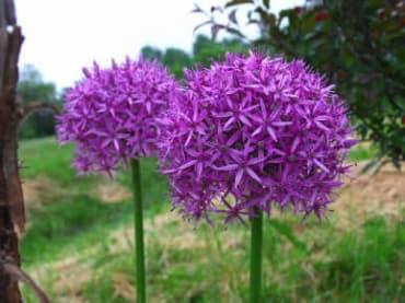 'Globemaster' Tall Allium