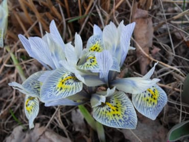 """Antiqued"" Hyacinth Glass"