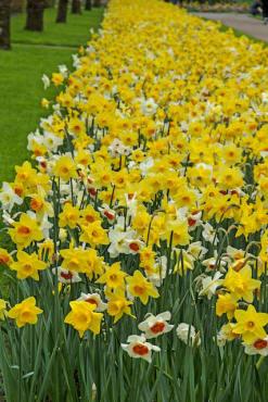 Fragrant Narcissus Mix