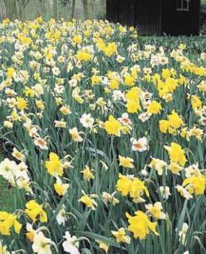 Landscape Narcissus Mix