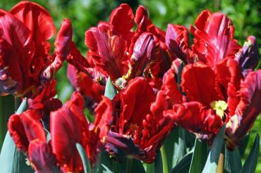 Purple Rain Tulip Mix