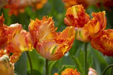 Darwin Hybrid Topsize Tulip Mix