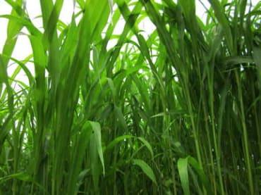 Conventional BMR Sorghum/Sudangrass