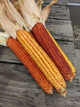 Wapsie Valley Corn