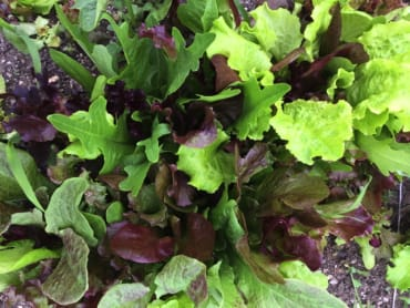DeLuxe Lettuce Mix