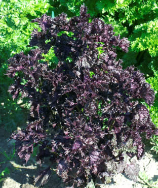 Red Shiso