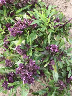 Flowering Thai Basil