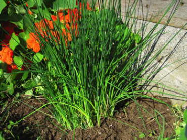 Nelly Chives