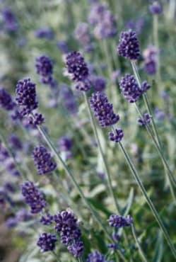 Vincenza Blue Lavender