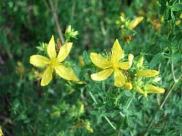 Topas St Johnswort