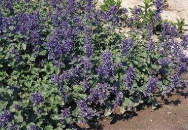Persian Catmint