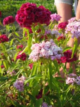 Double Choice Mix Sweet William