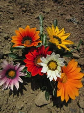 New Day Formula Mix Gazania