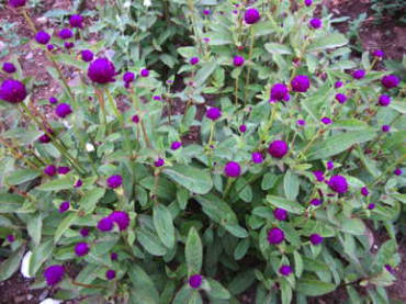 Las Vegas Purple Globe Amaranth