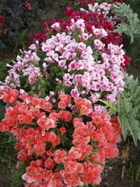 Grace Mix Godetia