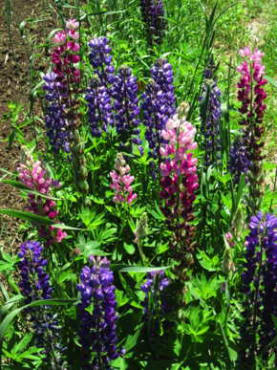 Russell Hybrids Choice Mix Lupine