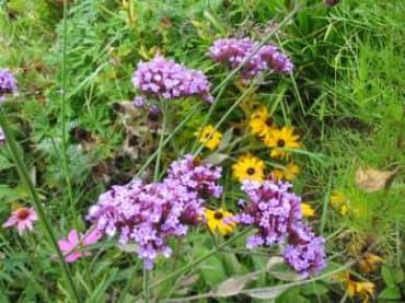 Purple Top Verbena
