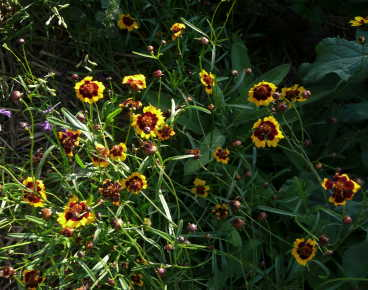 Dyer's Coreopsis Mix