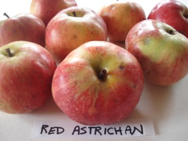 Red Astrachan