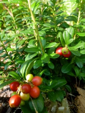 Lingonberry Collection