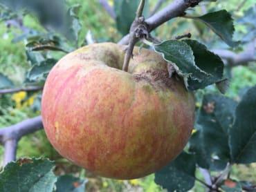 Calville Blanc d'Hiver