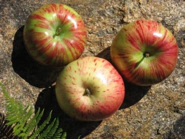 Sidrunkollane Talioun