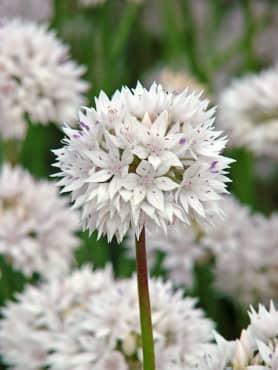 'Graceful' Flowering Onion